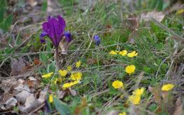 Apró nőszirom, termésetes élőhelyén (Dörgicse)