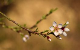 Az első mandulavirág (Balatonfüred)