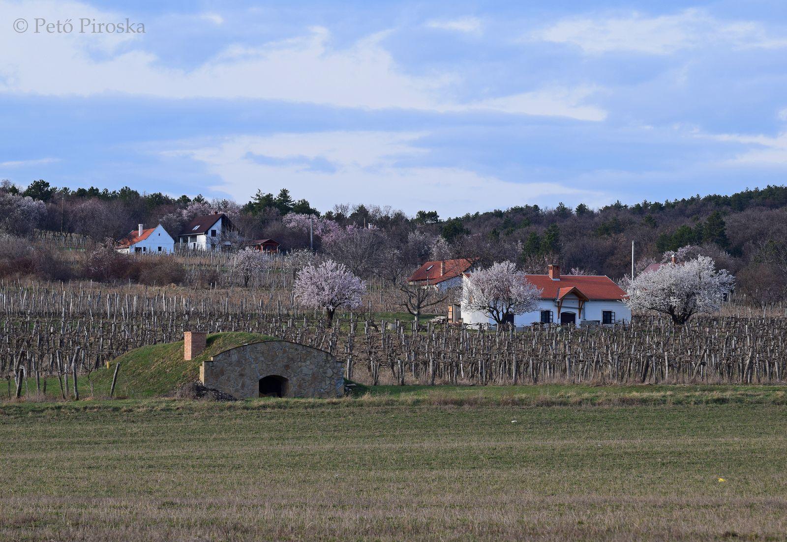 Az örvényesi szőlőhegy aktuális képe