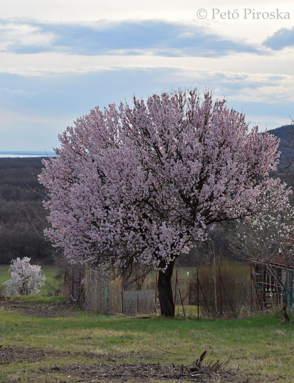 Elképesztő virágtömeggel nyűgöz le a fa