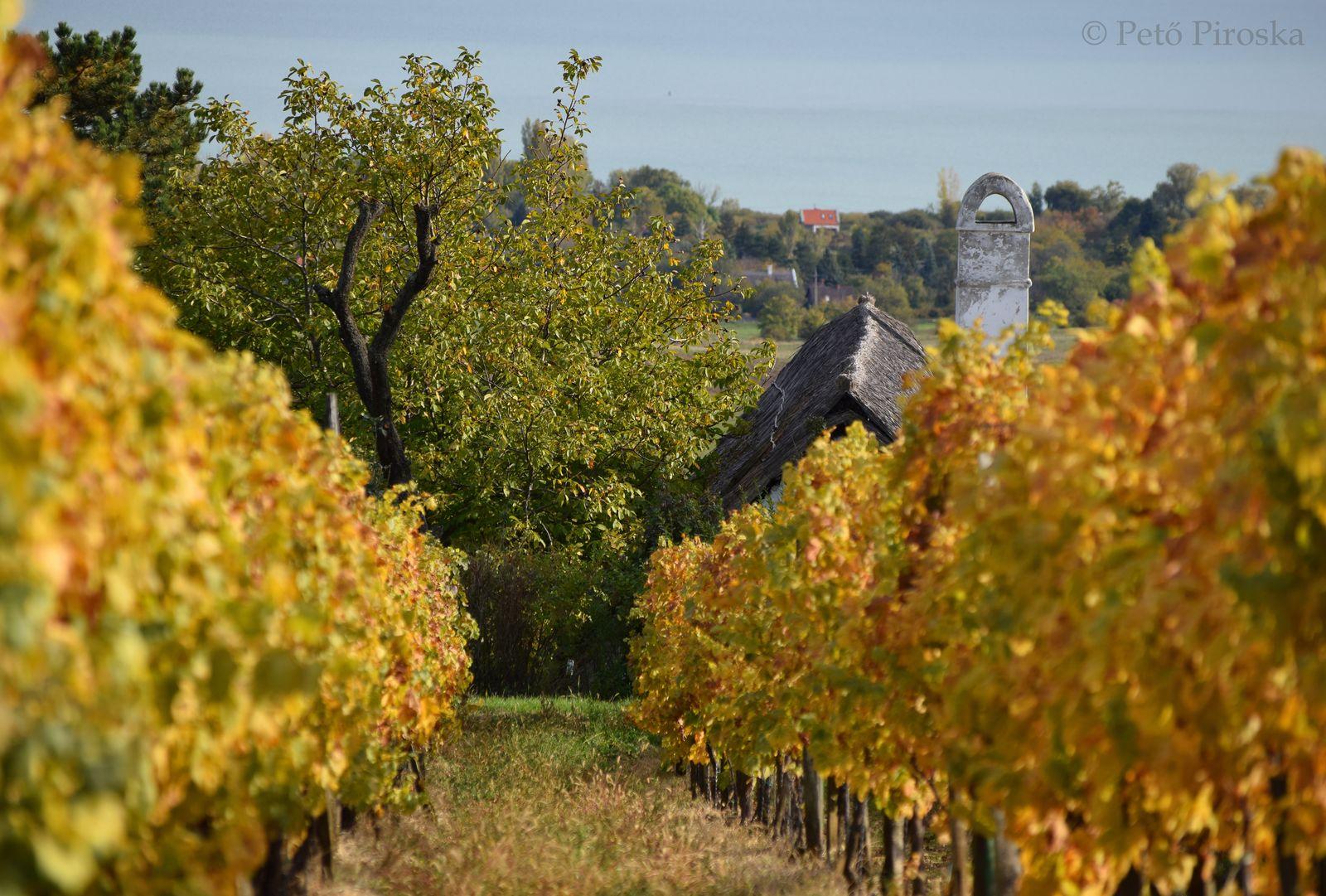 A szőlősorok őszi pompája feledhetetlen