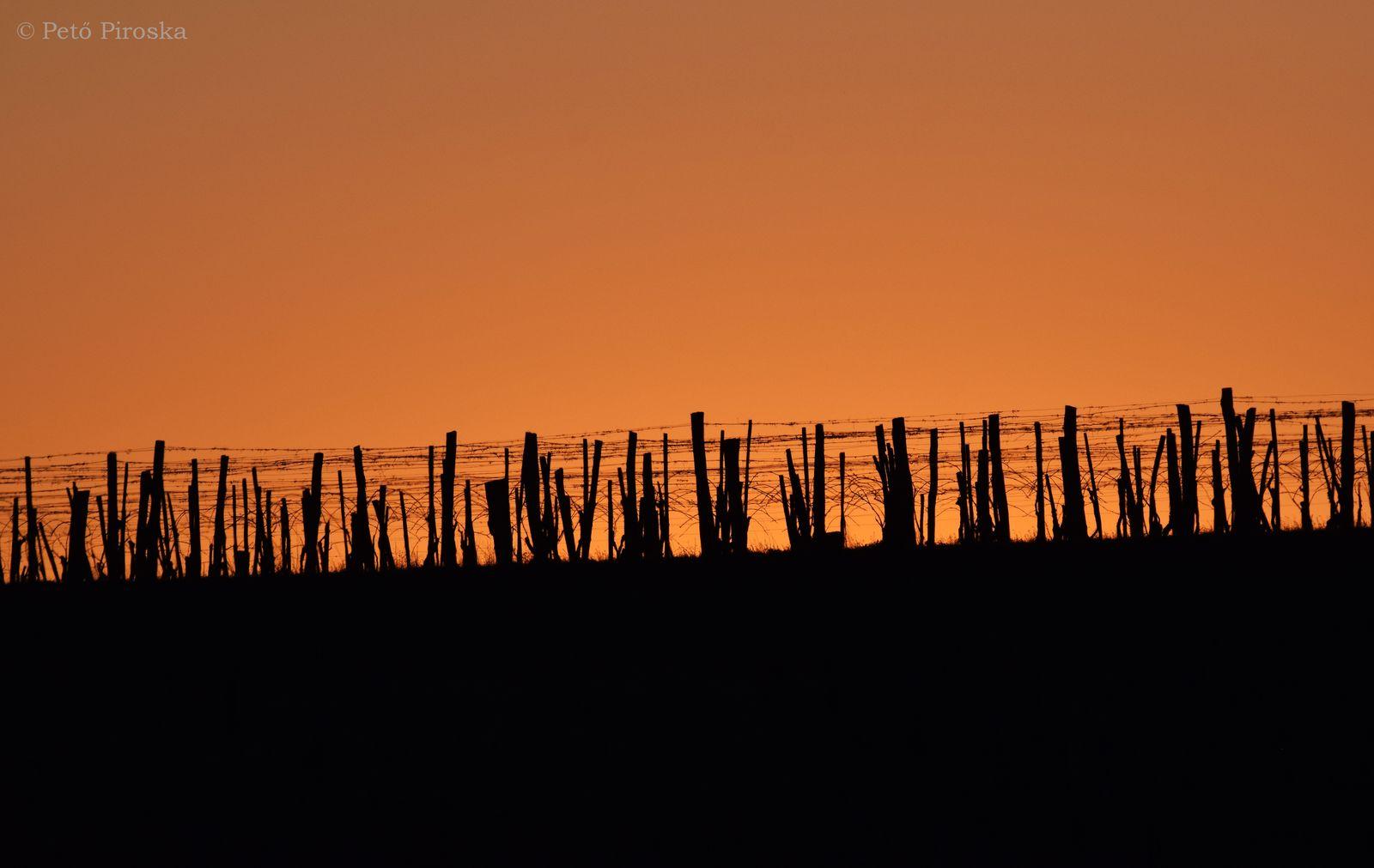 Lement a Nap a hegyszoknya szőlősorai mögött